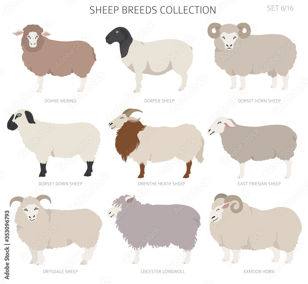 Fototapeta Sheep breeds collection 6. Farm animals set. Flat design