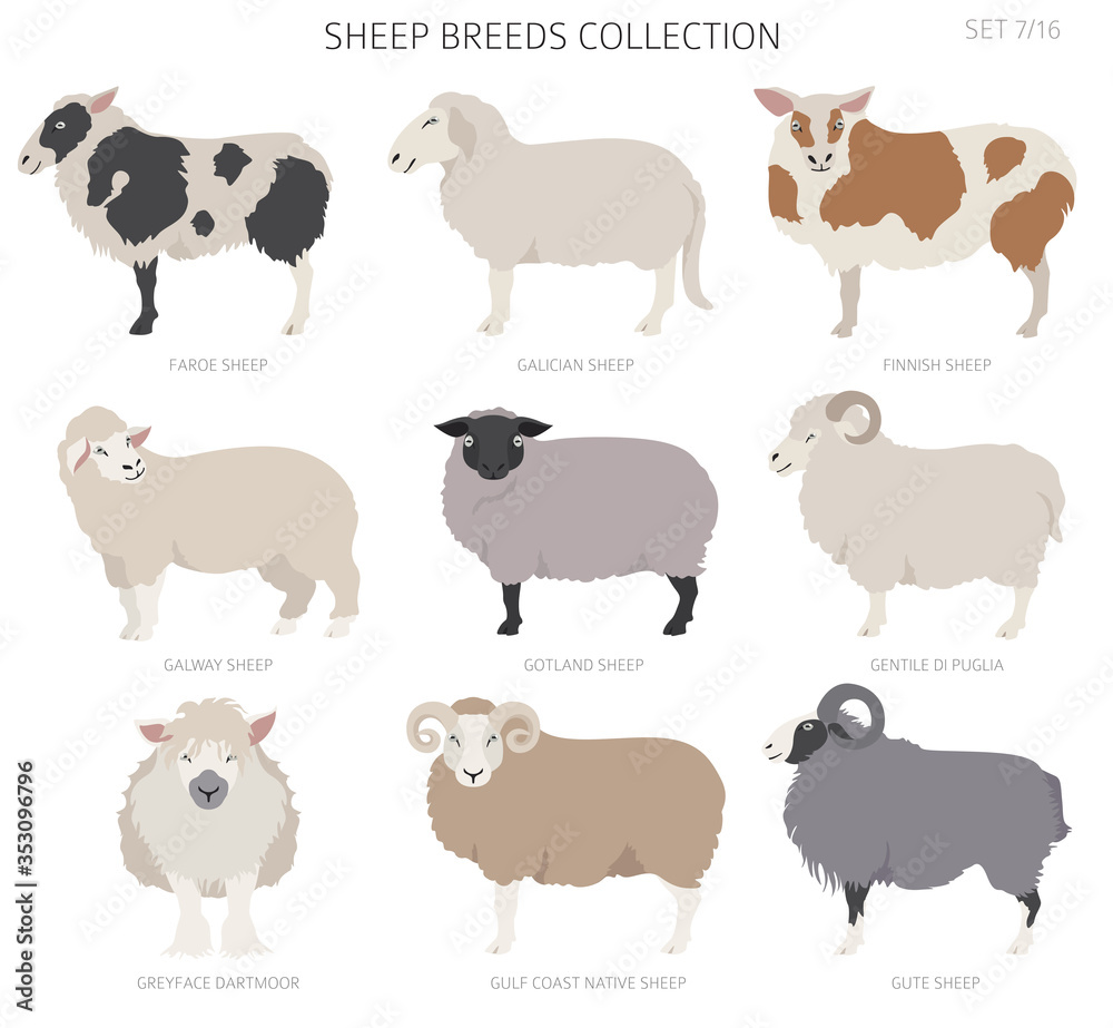Fototapeta Sheep breeds collection 7. Farm animals set. Flat design