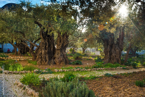 Canvas-taulu Olive trees in the biblical Garden of Gethsemane, where Jesus prayed before his