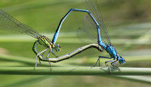 Paarung/Paarungsrad Libellen (Hufeisen-Azurjungfer / Coenagrion Puella)