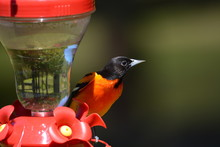 Male Northern Baltimore Oriole Bird Perched On Hummingbird Feeder