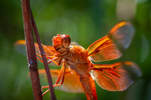 Summer Flame Skimmer Dragonfly III