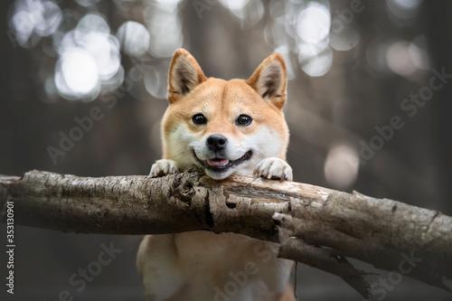 chien japonais souriant poser sur un tronc dans la foret Fototapet