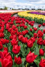 Selective Focus Of Colorful Tulips Growing In Field