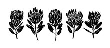 Protea Flowers Hand Drawn Vect...