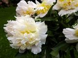 eleganti peonie bianche e gialle sullo sfondo del giardino