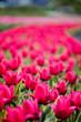 Leinwandbild Motiv selective focus of pink colorful tulips