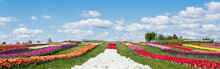 Colorful Tulips Field With Blu...