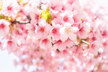 Fototapeta Drzewa Sakura in a Park in Japan
