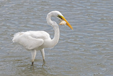 Great Egret Catches A Small Fish In Okinawa, Japan