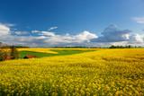 Fototapeta Kwiaty - Rzepak - żółte kwiaty rzepaku - krajobraz rolniczy, Polska, Warmia i mazury
