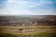 Cows In A Field. Autumn Season.