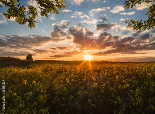 Fototapeta Sunset over a flowering rapeseed field. obraz