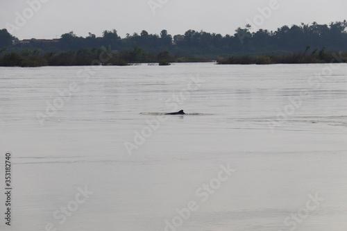 Dauphin d'eau douce sur le fleuve Irrawaddy à Kratie, Cambodge Wallpaper Mural