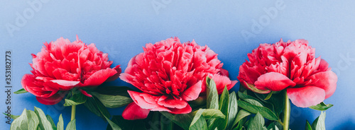 Fototapeta pink peonies on a blue background, copy space, long banner