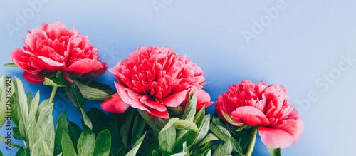 Obraz na plátně pink peonies on a blue background, copy space, long banner