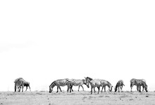Zebras Grazing In The Savannah...