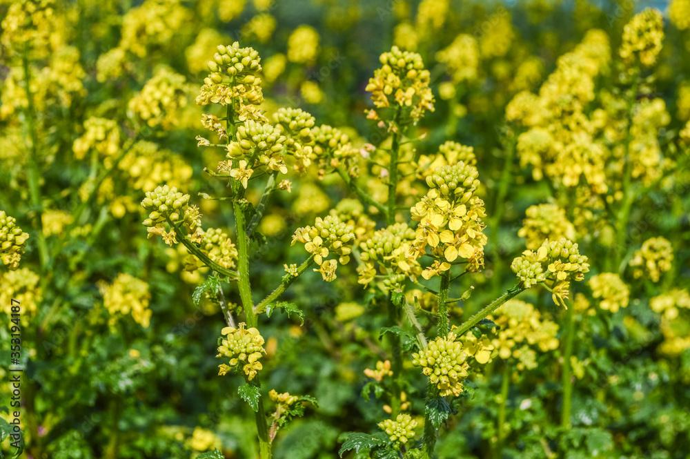 Fototapeta Yellow Mustard Flowers field - Sinapis Alba ( Mustard Flower ) plant with flowers and buds