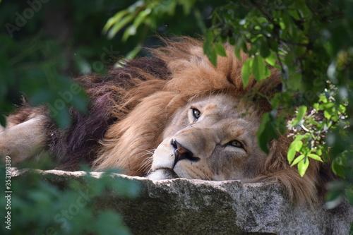 Löwe Fototapete