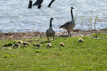 Mother Goose And Her Gosling B...