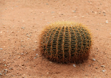A Single Large Golden Barrel Cactus Plant.