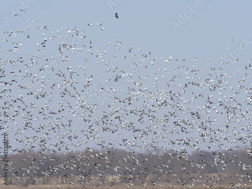 Tablou Canvas Gaggle of Geese