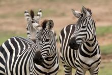 Closeup  Of A  Pair Of Zebras,...