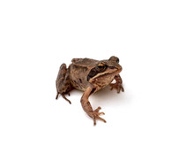 Brown Frog On A White, Isolate...