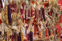 Fall Harvest, Colorful Dried Indian Corn For Holiday Decorating
