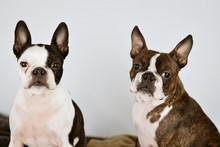 Dos Perros De Raza Boston Terr...