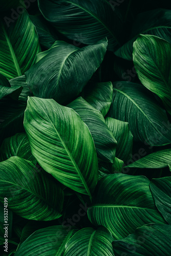 Fototapety, obrazy: Spathiphyllum cannifolium leaves, abstract green texture, natural background, tropical leaves in Asia and Thailand
