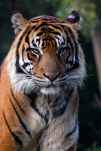 Portrait Of Sumatran Tiger Wit...