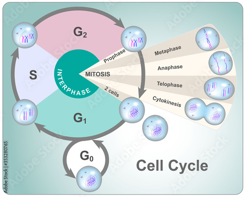 Fototapeta Division cycle of eukaryotic cell divided into four phases: G1, S, G2 and mitosi