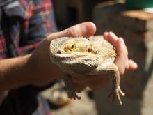 Reptile, Big Lizard In The Han...