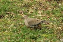 Mourning Dove In The Grass