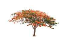 Flame Tree Or Royal Poinciana Or Flame-boyant On Isolated, An Evergreen Leaves Plant Di Cut On White Background With Clipping Path..