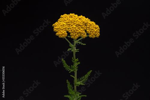 Yarrow Yellow Flowers Canvas Print