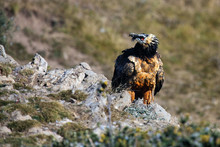 The Bearded Vulture (Gypaetus ...
