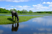 Horses Drinking On The Water P...