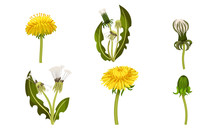 Dandelion Flower With Florets Or Flower Heads And Lobed Leaves Vector Set