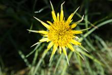 Yellow Salsify Flower