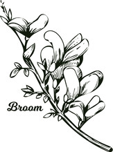 Broom Flower, Dyers Greenwood, Weed And Whin, Furze, Green Broom, Greenweed, Wood Waxen Vector Illustration Of Blooming Flowers. Genista Tinctoria, Lupine Lupin Gorse And Laburnum Monochrome