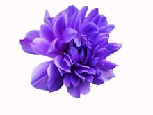 Closeup Purple Fresh Anemone F...
