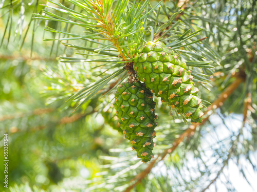 Photo closeup young green pine cones hanging on a branch of pine tree in summer
