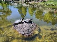Two Turtles Resting Together In The Sun On A Rock In A Duck Pond