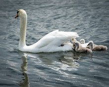 Mother Swan Swimming In The Water With Baby Cygnets On Her Back