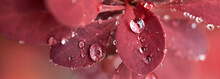 Large Drops Of Dew On A Red Barberry Leaf
