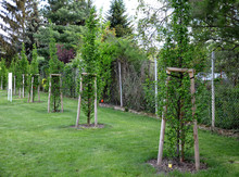 Hornbeam Carpinus Betulus Pyramidalis  Elegant Columnar Tree With Upright Branches And Bright Green Leaves That Are Organ-folded. The Hornbeam Pours Its Leaf Buds In Early Spring,  Messenger Spring