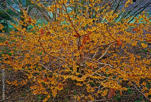 Fotografía Hamamelis mollis 'Coombe Wood' in a woodland garden