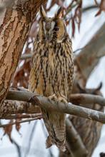 Long-eared Owl (Asio Otus) Wildlife Habitat Bird.
